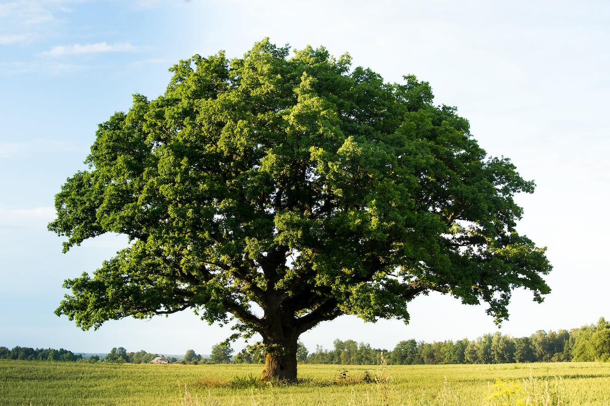 """Klimaatbomen: """"Ze verhinderen het heat-island-effect en voorkomen hittestress."""""""