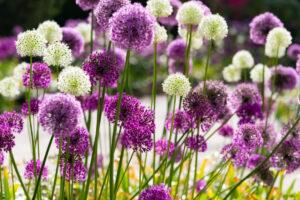 Sfeerbeeld van Alliums bloemen