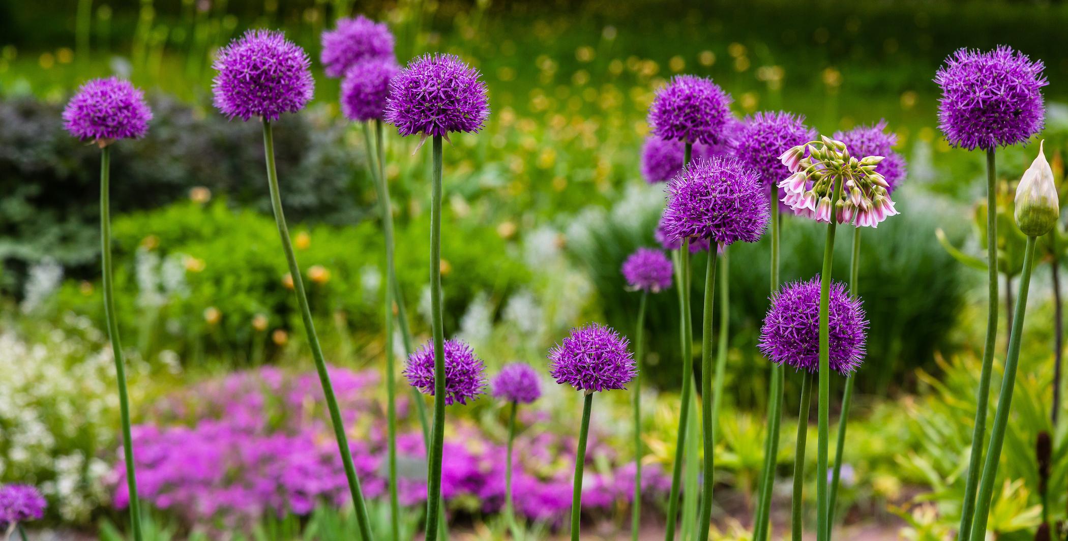 Sierui bloem: een knappe bloembol voor tijdens het voorjaar!