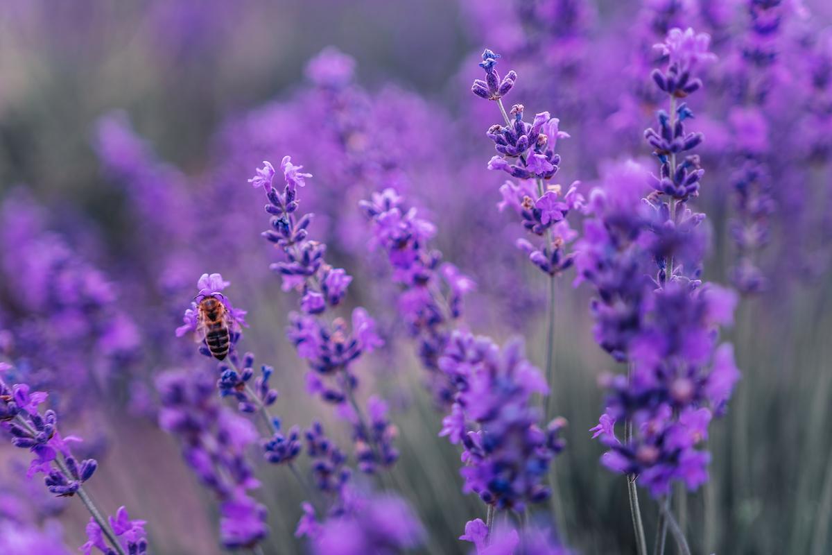 Lavendel verzorgen: waar moet u op letten?